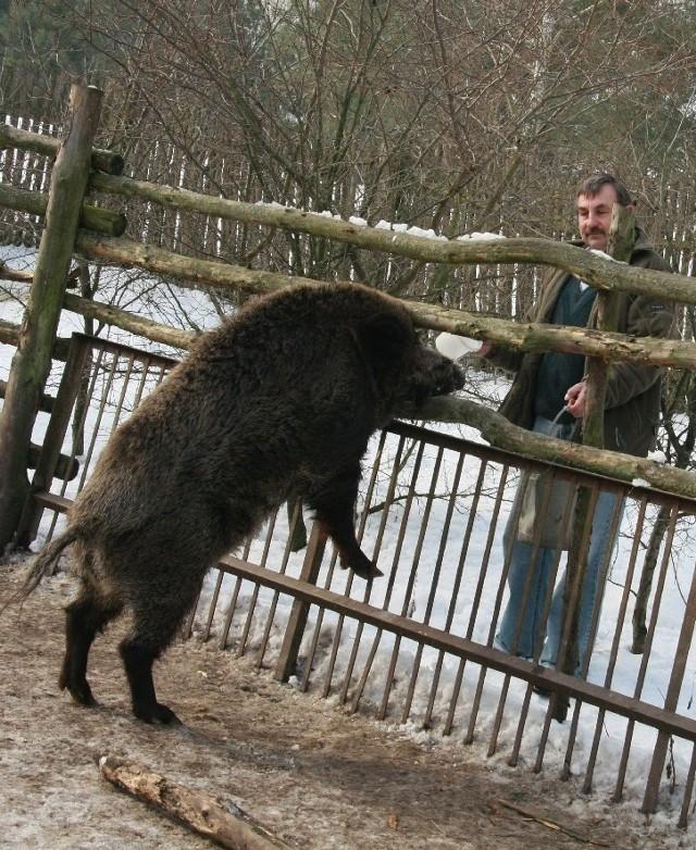 - Hoduję te dziki od 11 lat i na pewno ich nikomu nie oddam - zapowiada Mikołaj Sinożeński.