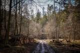 """Prezydent Sopotu krytykuje działania leśniczych. """"Smutny widok, po wycince dla zysku, ponad 100-letnich drzew"""". Nadleśnictwo odpowiada"""