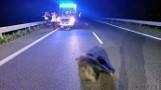 Wypadek w Opolu. Karetka uderzyła w dzika na obwodnicy północnej. Załoga miała dużo szczęścia
