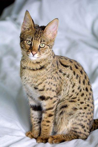 Bardzo dobra Kot Savannah - mieszanka kota domowego i serwala afrykańskiego IN38