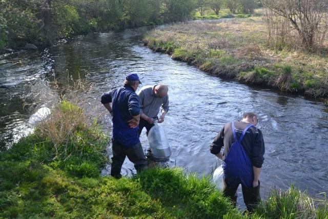 Zarybianie Czarnej Hańczy. 40 tys. ryb zostało wpuszczonych do rzeki