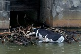 Wrocławianie są przerażeni: W Odrze zauważyli martwą krowę