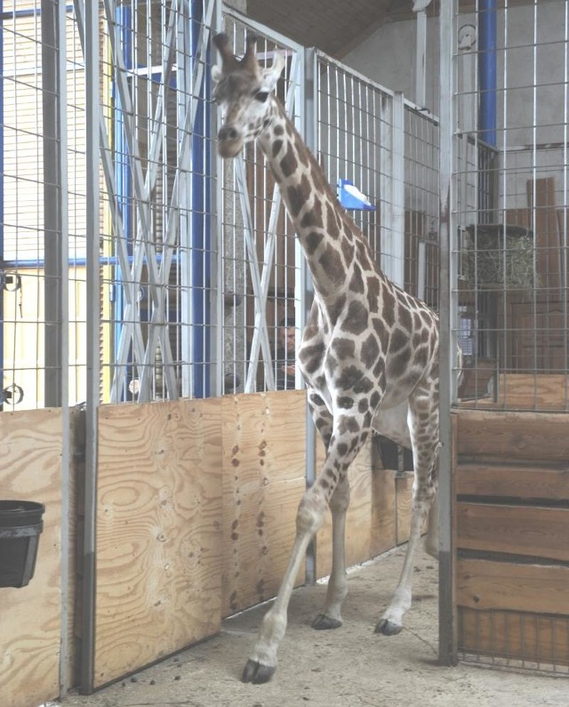 Gilara w opolskim ogrodzie zoologicznym.