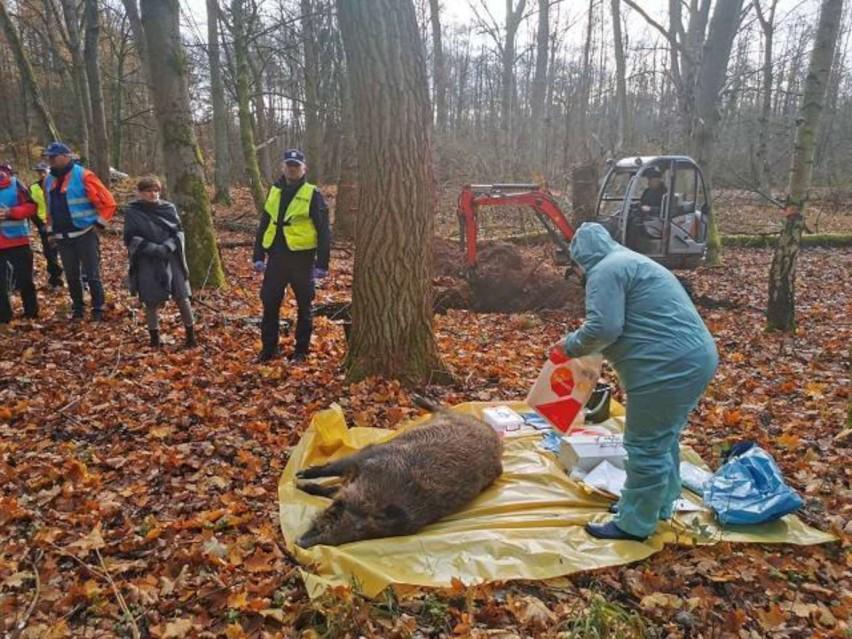 Wirusa ASF badania potwierdziły u padłego dzika, znalezionego w okolicach Kowanówka.