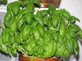 Bazylia przyjemnie pachnie i świetnie nadaje się do uprawy w ogrodzie i w doniczkach.