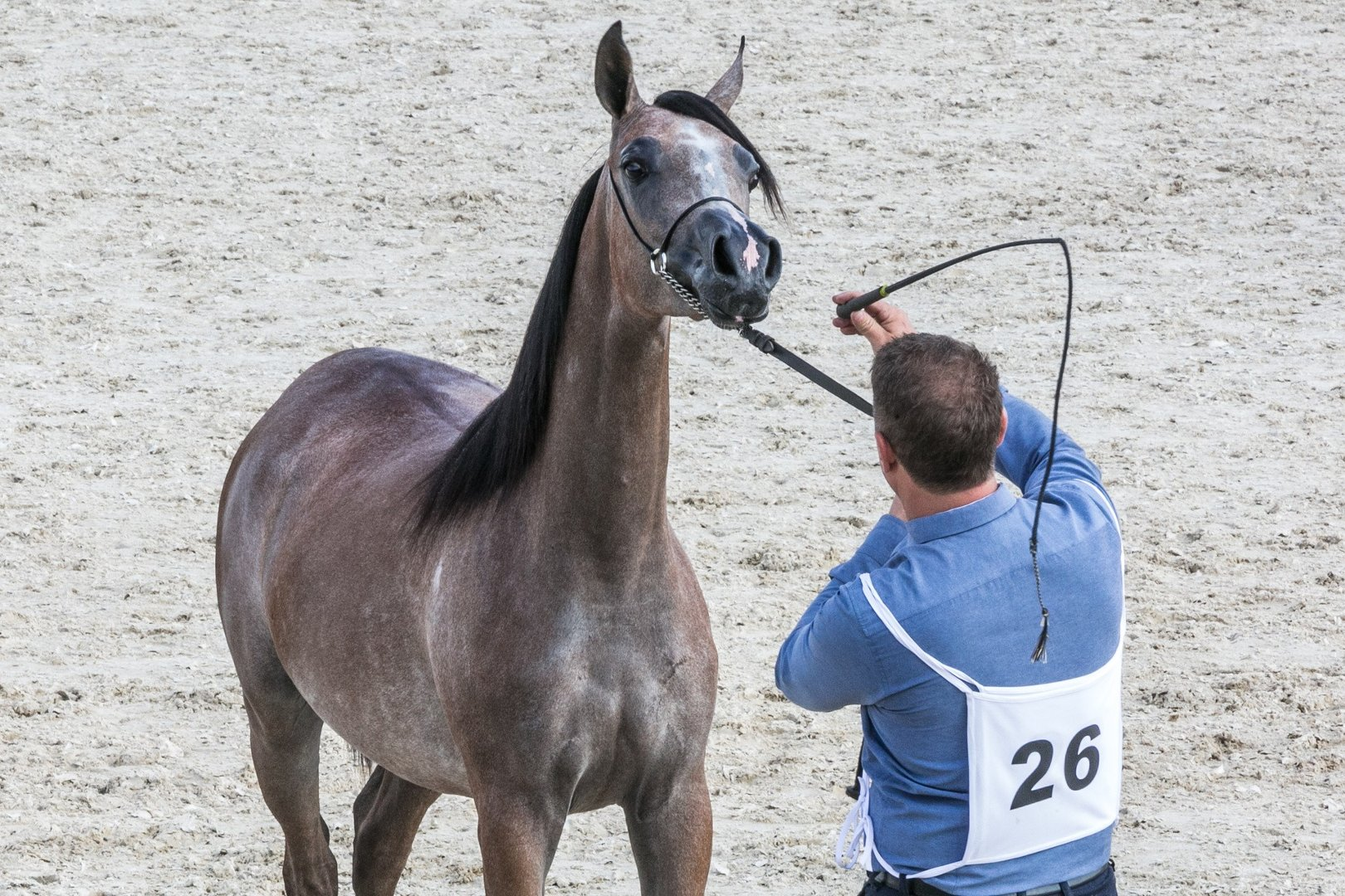 Konie Arabskie Na Pokazach Walczą O Laury Najpiękniejszych Zdjęcia