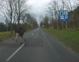 Uwaga na łosie na drogach w województwie łódzkim. Ostatnio widziane były koło Wartkowic [ZDJĘCIA]