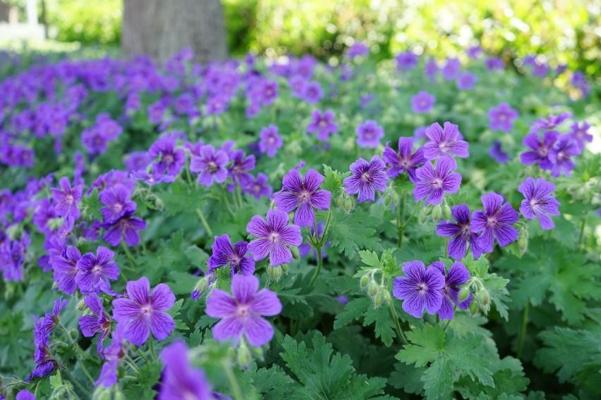 Bodziszki to kwiaty, które urosną w prawie każdym ogrodzie i niemal nie wymagają pielęgnacji.
