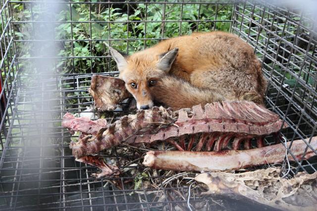 Blisko 300 kur, gęsi, lisów, psów, kotów i kóz przetrzymywanych jest w skandalicznych warunkach przy ul. Borowej. Ściśnięte w klatkach, siedzą na innych martwych zwierzętach, wśród kości, śmieci i błota.