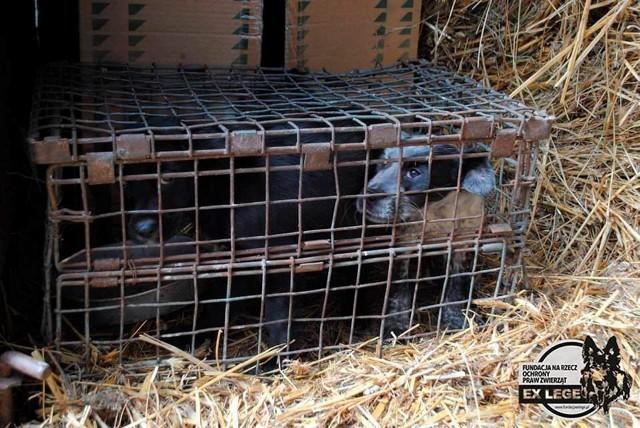 W czasie kwietniowej interwencji z hodowli zostały zabrane psy i króliki. Zwierzęta przetrzymywano w ciasnych klatkach i drewnianych skrzynkach. Były wychudzone i wygłodniałe