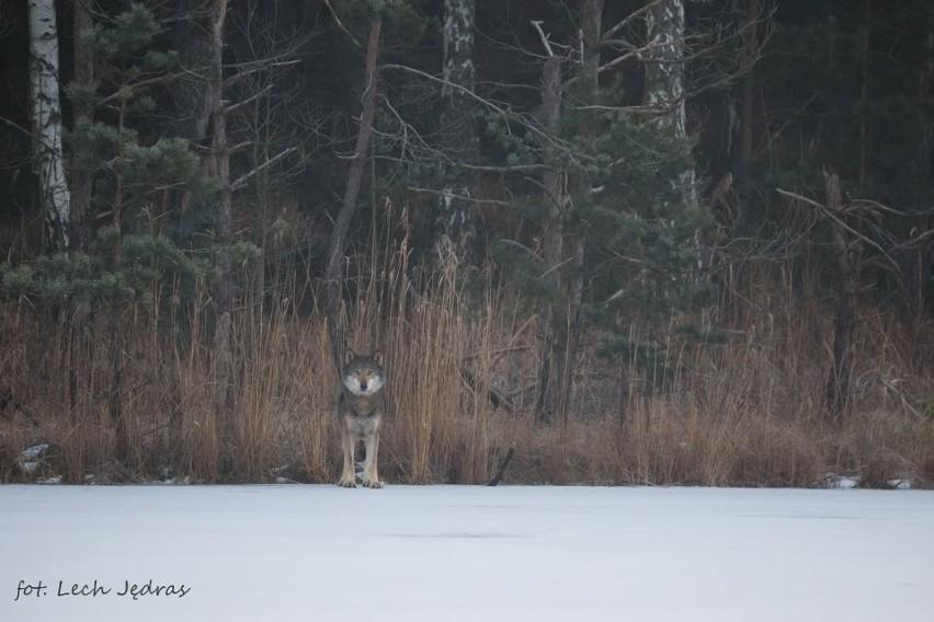 Leśniczy Lech Jędras sfotografował wilki na granicy...
