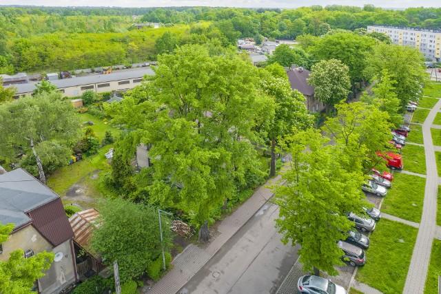Strażnik Kopalni z Sosnowca może zostać Drzewem Roku. To piękne drzewo jest pomnikiem przyrody. Zobacz kolejne zdjęcia. Przesuń zdjęcia w prawo - wciśnij strzałkę lub przycisk NASTĘPNE