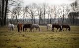 Konie z Janowa Podlaskiego. Wielkie sprzątanie w stadninie