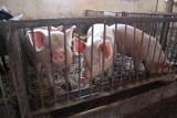 Afrykański pomór świń w natarciu. Weterynarze ostrzegają!
