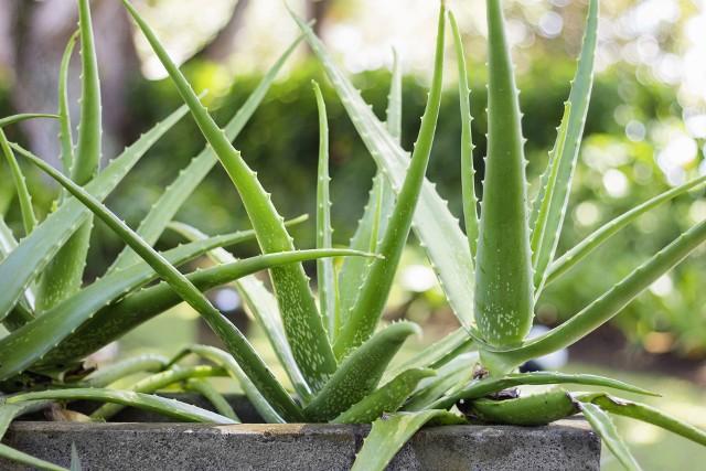 Aloes wymaga dużo światło, dlatego dobrze czuje się na parapecie okiennym. Latem możemy podziwiać jego żółte i dzwonkowate kwiaty, ale niewiele osób wie, że roślinę można też zmusić do kwitnienia zimą. Aby tego dokonać, powinniśmy na 4 do 5 tygodni przetrzymać ją w temperaturze około 10 ºC. Aloes jest sukulentem, więc potrafi gromadzić wodę i nie trzeba go często podlewać. Od dawna wykorzystywany jest w dermatologii i kosmetyce, zawiera około 200 czynnych biologicznie, cennych dla zdrowia substancji.