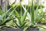 """Modne rośliny doniczkowe! Monstera, paprotka, palmy, aloes, dracena, fiołek, fikus, geranium. Te """"kwiatki"""" są zawsze popularne 19.02.2021"""