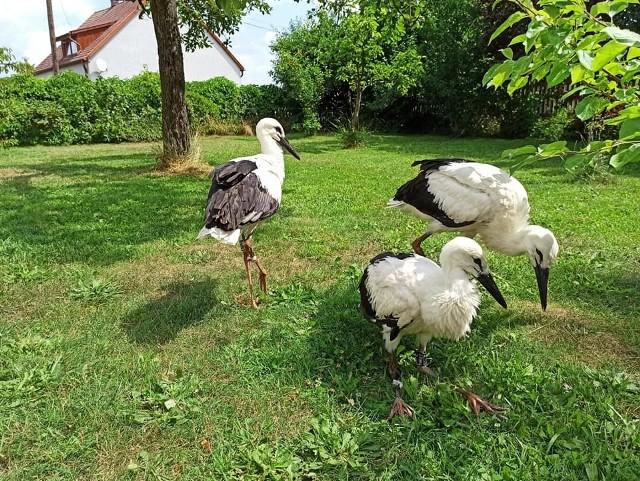 W niedzielę (4.07) fachowcy uznali, że dłużej czekać nie można, choć ptaki wydawały się być w niezłej formie. Cztery młode bociany trafiły do azylu dla dzikich zwierząt w Łubnianach.