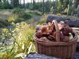 Wysyp grzybów na Dolnym Śląsku. Jednak, trzeba wiedzieć, gdzie szukać (LOKALIZACJE)