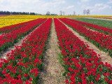 """Na polach Bogdana Królika w Chrzypsku Wielkim właśnie zakwitło dziesięć milionów tulipanów. To """"polska Holandia"""" - mówią ci, którzy oglądają"""