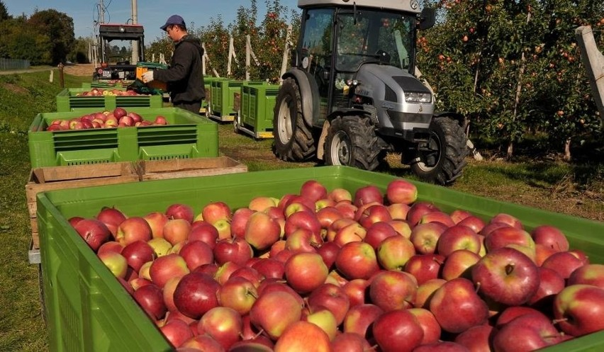 sportowa odzież sportowa najlepiej sprzedający się wyprzedaż hurtowa Zbierając jabłka w Niemczech, zarobisz 10 euro za godzinę ...