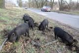 Dzikie świnie blokowały ruch w pobliżu obwodnicy [ZDJĘCIA]