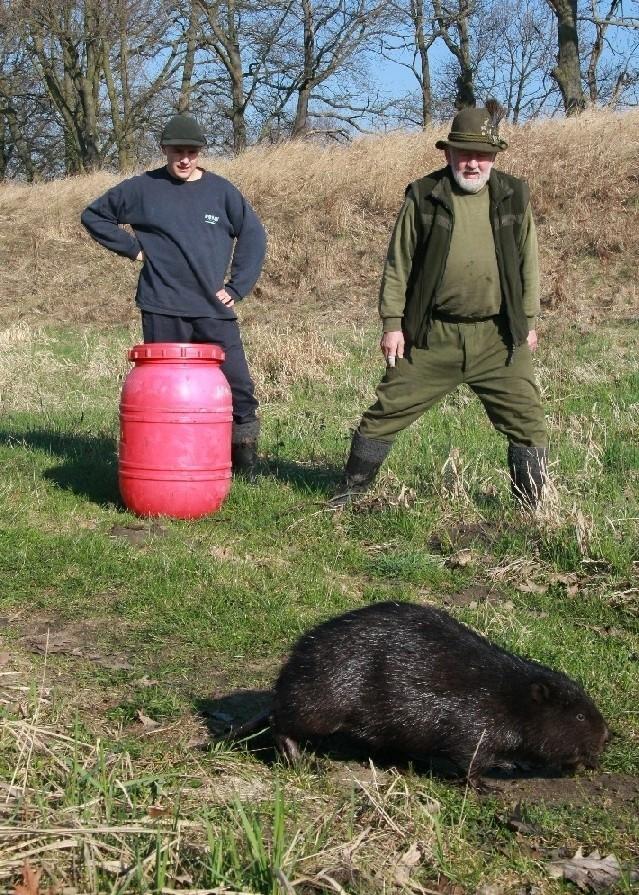 Bóbr wędrował po puszczy z dala od wody. Zdzisław Belina schwytał go około czterech kilometrów od Warty, a potem zawiózł nad rzekę.