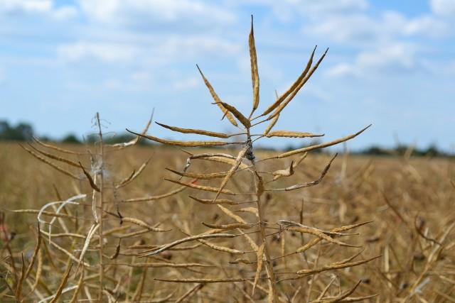 Jedni rolnicy sieją już rzepak na kolejny sezon (np. w powiecie brodnickim), inni czekają na możliwość zmłócenia z poprzednich zasiewów (np. w powiecie tucholskim).