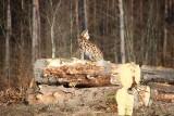 Ryś pozuje do zdjęć. Kolejna sesja leśnego kota (ZDJĘCIA)