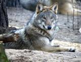 O wilku mowa, a wilk tuż. Choć mogło go nie być. Jeden z najpiękniejszych polskich drapieżników ma swoje tajemnice