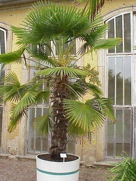 Duża palma wydziela około 1 litra wody na dobę.