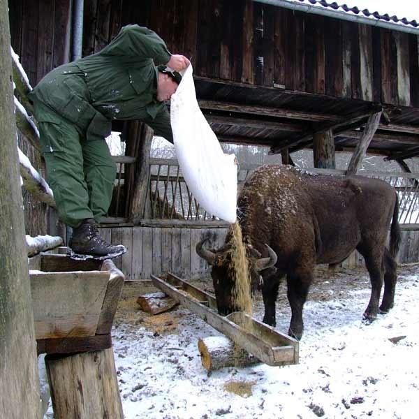 Żubry, podobnie jak inne leśne zwierzęta, cierpią na przypadłości. Ostatnio wykryto u nich nicienie i motylicę. Lekarstwa podawane są im w karmie dostarczanej przez leśników.