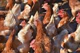 Rolnicy stoją przed dramatyczną decyzją o zagazowaniu i utylizacji drobiu z konieczności