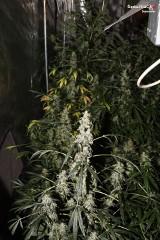 Plantacja marihuany w Sosnowcu. 44 krzaki w mieszkaniu ZDJĘCIA