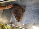 Animal Patrol na podwórku przy ul. Malowniczej złapał pięknego bobra