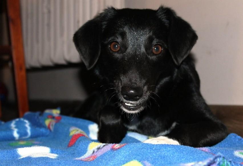 Figa, sunia przygarnięta z opolskiego schroniska ponad dwa lata temu. Nieufna, skrzywdzona przez człowieka, w nowym domu odżyła, odzyskała radość psiego życia i mocno pokochała swoich opiekunów.