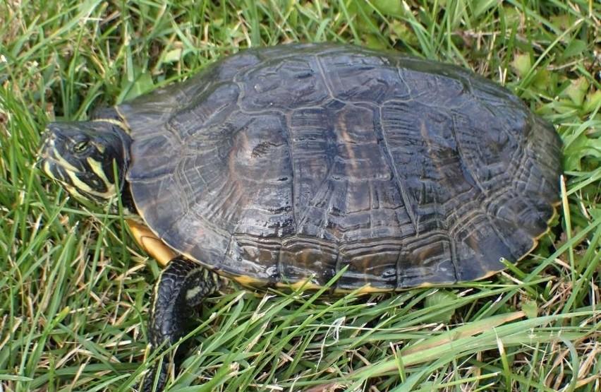 Drapieżny żółw jak gdyby nigdy nic spacerował sobie w...