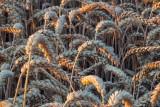 Ceny zbóż w Kujawsko-Pomorskiem. Stawki na początku maja 2021