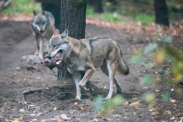 - Strach przed wilkiem jest głęboko zakorzeniony w kulturze europejskiej. Jest on bardzo wyolbrzymiony, ale nie jest całkowicie bezpodstawny - mówi dr Wojciech Śmietana.
