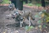Dr Wojciech Śmietana, badacz dużych drapieżników: strach przed wilkiem jest bardzo wyolbrzymiony, ale nie jest całkiem bezpodstawny