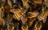 Czy opryski na polu zatruły pszczoły z Mycielina?