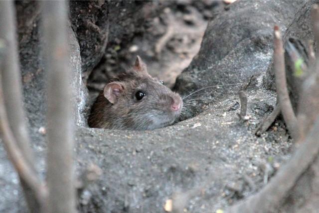 Tym razem szczury widziane były w okolicy jednego z marketów w Zielonej Górze. (zdjęcia ilustracyjne)