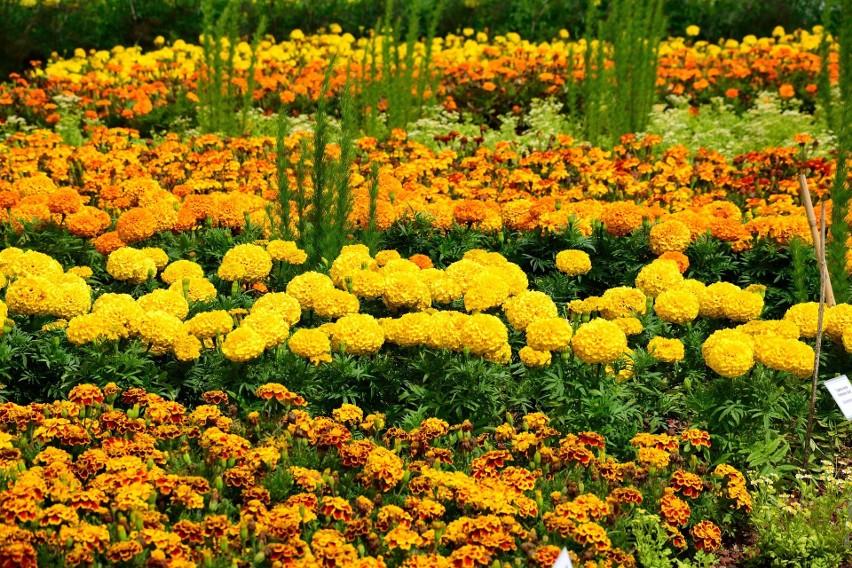 Pomarańczowe kwiaty ładnie komponują się m.in. z żółtymi....