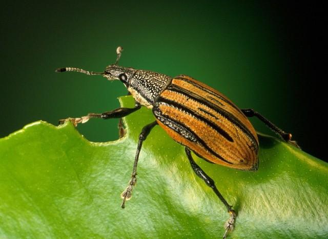 Zamiast mięsa w hamburgerze ma być 50 gramów larw chrząszcza nocnego