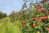 Czy grójeckie jabłka są szkodliwe? Związek Sadowników Polskich odpiera zarzuty autora filmu