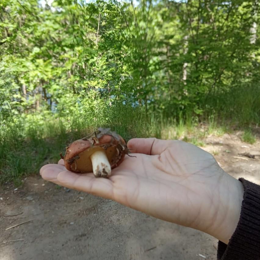 Mieszkaniec wysłał nam zdjęcie grzyba, którego znalazł w...