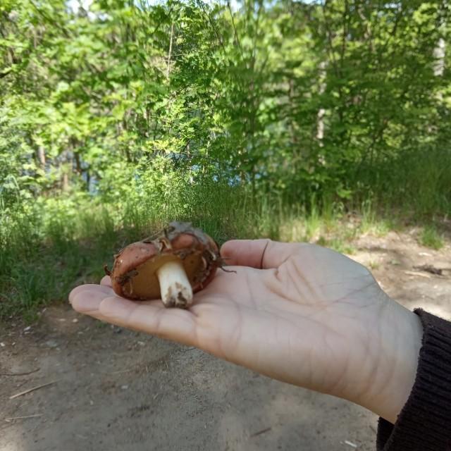 Mieszkaniec wysłał nam zdjęcie grzyba, którego znalazł w lesie w okolicy Zielonej Góry pod koniec maja 2020 roku.