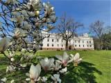 Baranów Sandomierski na majówkę. Przed zamkiem rozkwitła magnolia! Park, kawiarenka i strzelnica golfowa otwarte (ZDJĘCIA)