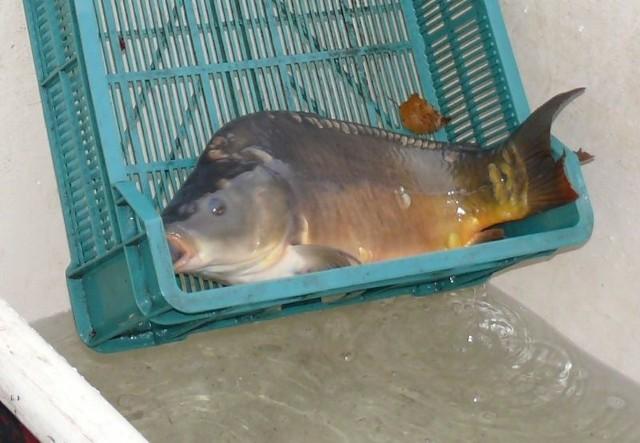 W sprawie ustawy wprowadzającej drakońskie opłaty dla hodowców ryb widać światełko w tunelu. Ustawy w tym kształcie, obawiają się rybiarze, nie akceptuje ani Komitet Stały Rady Ministrów, ani sama premier Szydło.