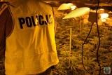 Policjanci zlikwidowali wielką plantację konopi indyjskich pod Prudnikiem