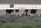 W Wielkopolsce ruszają lawendowe żniwa. Plantacje lawendy zaczynają kwitnąć. Byliśmy w Lawendowych Zdrojach